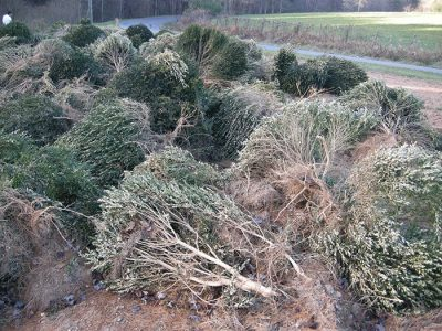 Nursery BMP: Removal of infected boxwoods in a tipping operation; Photo Credit: M.A. Hansen