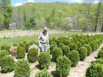 Scout host plants frequently for signs and symptoms of boxwood blight .; Photo Credit: N. Dart