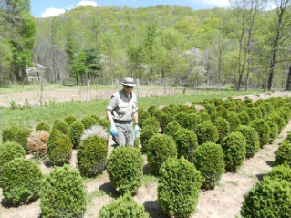 Nursery BMP: Scout host plants frequently for signs and symptoms of boxwood blight .; Photo Credit: N. Dart