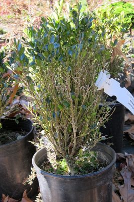 Symptom: Leaf drop on nursery stock; Photo Credit: A. Bordas