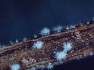 Signature Programs: White stellate clusters of Calonectria pseudonaviculata, the boxwood blight pathogen, on a boxwood branch; Photo Credit: E. Bush