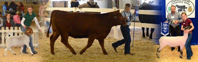 Youth Livestock Program | Virginia Cooperative Extension | Virginia Tech