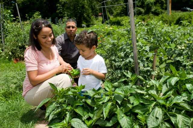 Father, mother, and child looking at bell pepper plants in a home garden.