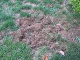 My Lawn 'Stinks': Skunk Damage | Virginia Cooperative ...